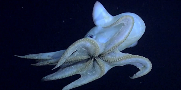 Weird-Wonderful-Animals-Dumbo-Octopus